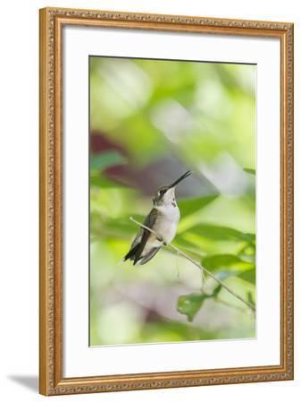 Ruby-Throated Hummingbird-Gary Carter-Framed Photographic Print