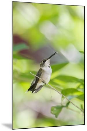Ruby-Throated Hummingbird-Gary Carter-Mounted Photographic Print