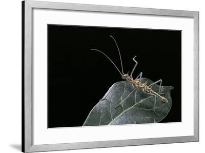 Epidares Nolimetangere (Touch Me Not Stick Insect)-Paul Starosta-Framed Photographic Print