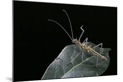 Epidares Nolimetangere (Touch Me Not Stick Insect)-Paul Starosta-Mounted Photographic Print