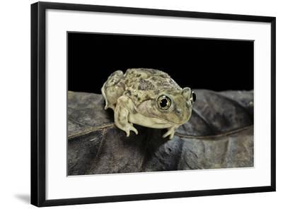 Spea Bombifrons (Plains Spadefoot Toad)-Paul Starosta-Framed Photographic Print