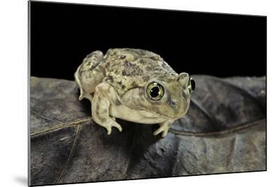 Spea Bombifrons (Plains Spadefoot Toad)-Paul Starosta-Mounted Photographic Print
