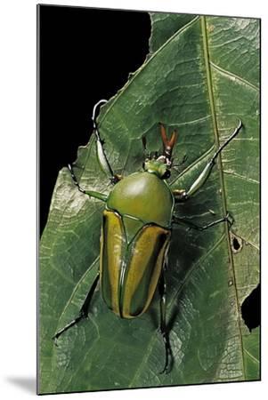 Eudicella Gralli Schultzeorum (Flamboyant Flower Beetle)-Paul Starosta-Mounted Photographic Print