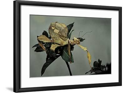 Extatosoma Tiaratum (Giant Prickly Stick Insect)-Paul Starosta-Framed Photographic Print