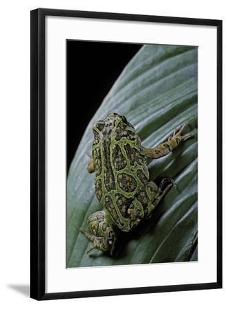 Scaphiophryne Madagascariensis (Madagascar Rain Frog)-Paul Starosta-Framed Photographic Print