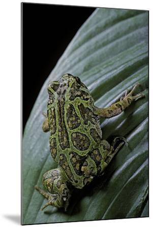 Scaphiophryne Madagascariensis (Madagascar Rain Frog)-Paul Starosta-Mounted Photographic Print