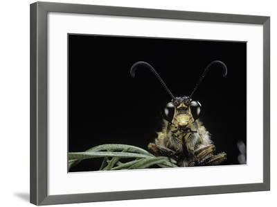 Palpares Libelluloides (Antlion) --Paul Starosta-Framed Photographic Print