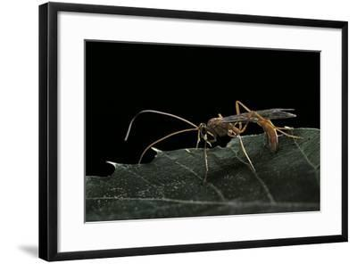 Ophion Luteus (Ichneumon Wasp, Yellow Ophion)-Paul Starosta-Framed Photographic Print