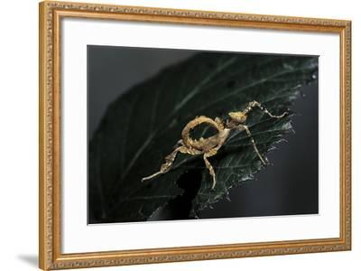 Extatosoma Tiaratum (Giant Prickly Stick Insect) - Larva-Paul Starosta-Framed Photographic Print
