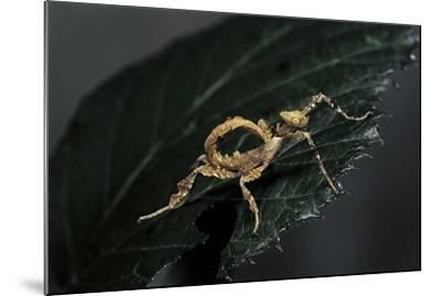 Extatosoma Tiaratum (Giant Prickly Stick Insect) - Larva-Paul Starosta-Mounted Photographic Print