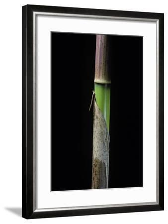 Phyllostachys Flexuosa (Sinuate Bamboo) - Young Culm-Paul Starosta-Framed Photographic Print