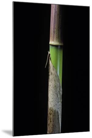 Phyllostachys Flexuosa (Sinuate Bamboo) - Young Culm-Paul Starosta-Mounted Photographic Print