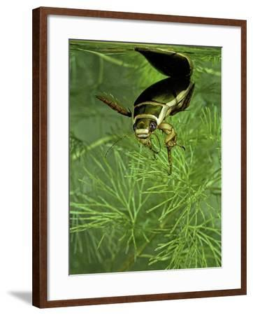 Dytiscus Marginalis (Great Diving Beetle)-Paul Starosta-Framed Photographic Print