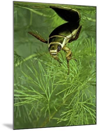 Dytiscus Marginalis (Great Diving Beetle)-Paul Starosta-Mounted Photographic Print