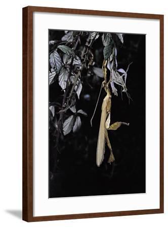 Extatosoma Tiaratum (Giant Prickly Stick Insect) - Emerging-Paul Starosta-Framed Photographic Print