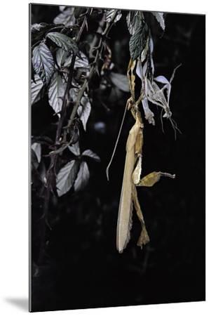 Extatosoma Tiaratum (Giant Prickly Stick Insect) - Emerging-Paul Starosta-Mounted Photographic Print