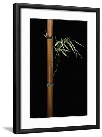 Semiarundinaria Fastuosa (Narihira Bamboo)-Paul Starosta-Framed Photographic Print