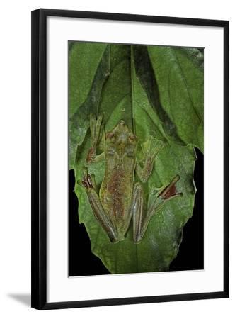 Rhacophorus Prominanus (Malayan Flying Frog)-Paul Starosta-Framed Photographic Print