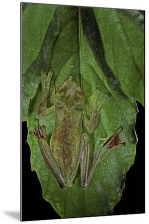 Rhacophorus Prominanus (Malayan Flying Frog)-Paul Starosta-Mounted Photographic Print