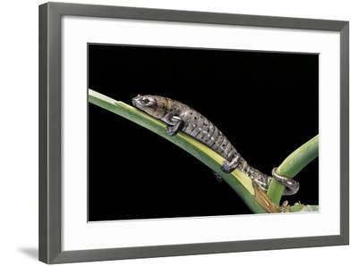Bolitoglossa Dofleini (Giant Palm Salamander, Alta Verapaz Salamander)-Paul Starosta-Framed Photographic Print