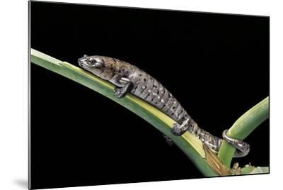 Bolitoglossa Dofleini (Giant Palm Salamander, Alta Verapaz Salamander)-Paul Starosta-Mounted Photographic Print