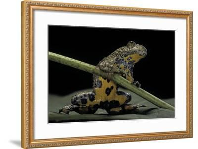 Bombina Variegata (Yellow-Bellied Toad)-Paul Starosta-Framed Photographic Print
