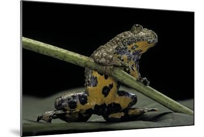 Bombina Variegata (Yellow-Bellied Toad)-Paul Starosta-Mounted Photographic Print