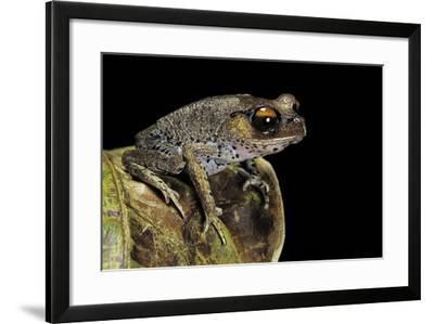 Leptobrachium Hasseltii (Hasselt's Toad, Tschudi's Frog)-Paul Starosta-Framed Photographic Print