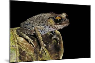 Leptobrachium Hasseltii (Hasselt's Toad, Tschudi's Frog)-Paul Starosta-Mounted Photographic Print