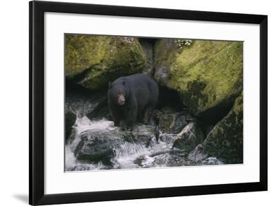 Black Bear in Stream-DLILLC-Framed Photographic Print