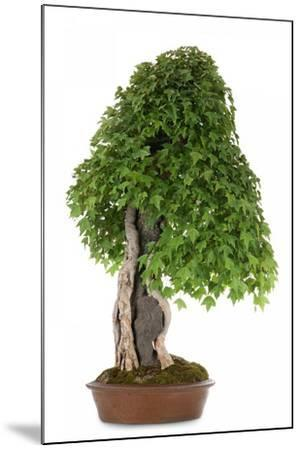 Bonsai-Fabio Petroni-Mounted Photographic Print