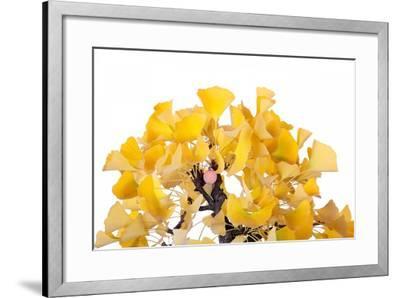 Bonsai Ginko Biloba-Fabio Petroni-Framed Photographic Print