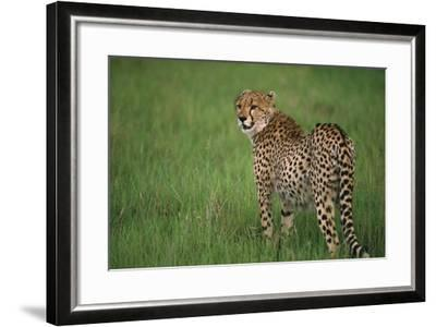 Cheetah Standing in Grass-DLILLC-Framed Photographic Print