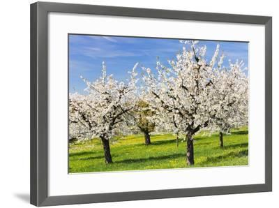 Cherry Orchard in Bloom-Frank Lukasseck-Framed Photographic Print