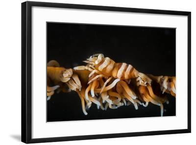 Whip Coral Shrimp-Bernard Radvaner-Framed Photographic Print