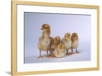 Rhode Island Red Chicks-DLILLC-Framed Photographic Print
