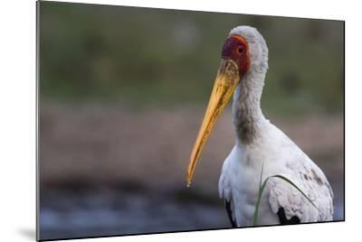 Yellow-Billed Stork-Sergio Pitamitz-Mounted Photographic Print