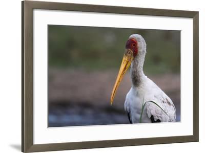 Yellow-Billed Stork-Sergio Pitamitz-Framed Photographic Print