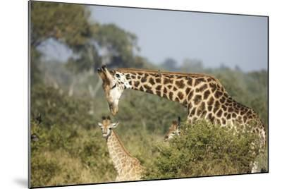 Giraffe Male and Calf-Richard Du Toit-Mounted Photographic Print