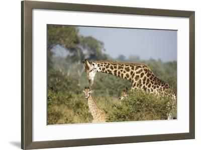 Giraffe Male and Calf-Richard Du Toit-Framed Photographic Print