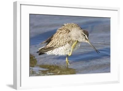 Short-Billed Dowitcher Grooming-Hal Beral-Framed Photographic Print