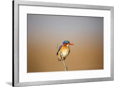Malachite Kingfisher-Richard Du Toit-Framed Photographic Print