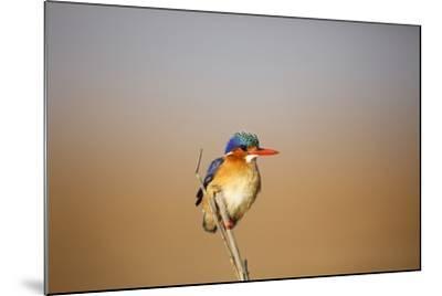 Malachite Kingfisher-Richard Du Toit-Mounted Photographic Print