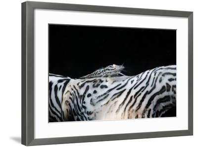 Zebra Anemonie Shrimp-Bernard Radvaner-Framed Photographic Print