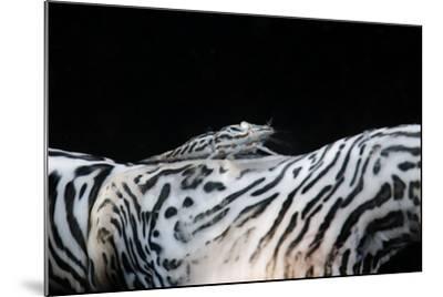Zebra Anemonie Shrimp-Bernard Radvaner-Mounted Photographic Print