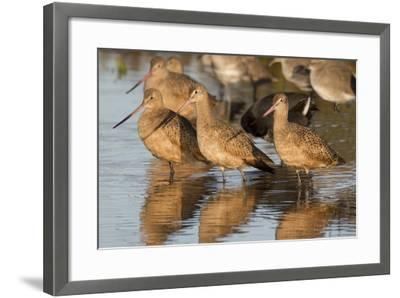 Marbled Godwits-Hal Beral-Framed Photographic Print