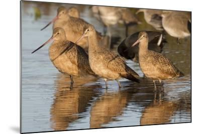 Marbled Godwits-Hal Beral-Mounted Photographic Print