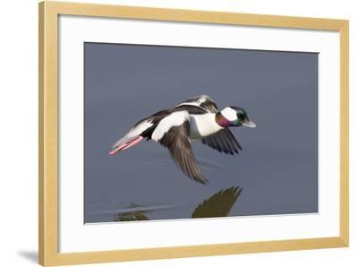Bufflehead Drake in Flight-Hal Beral-Framed Photographic Print