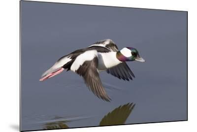 Bufflehead Drake in Flight-Hal Beral-Mounted Photographic Print