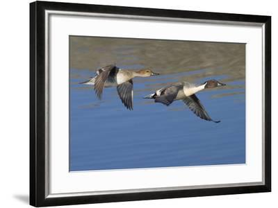 Pair of Northern Pintails in Flight-Hal Beral-Framed Photographic Print